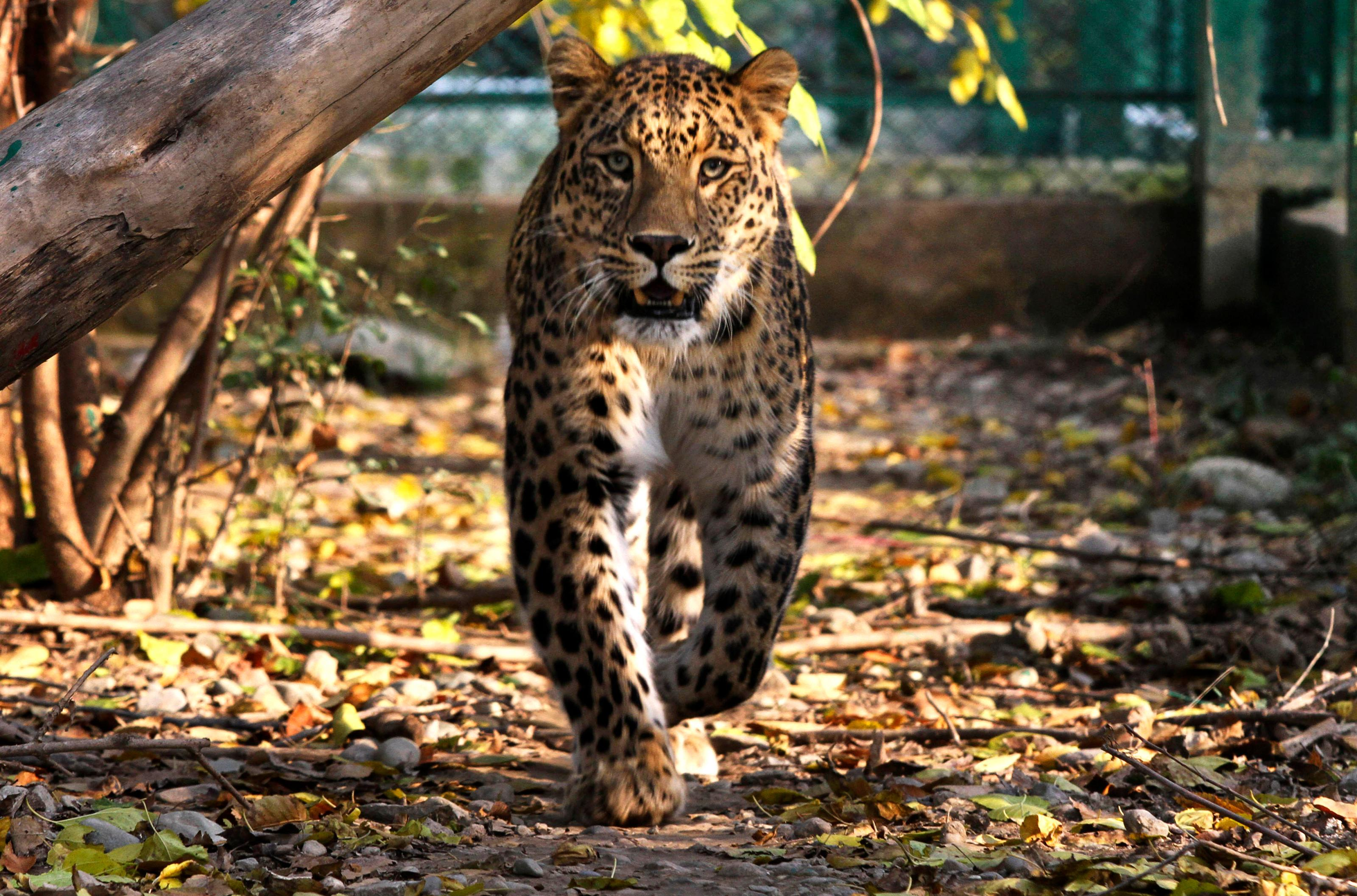 A Himalayan Indian village has negotiated peace with leopards