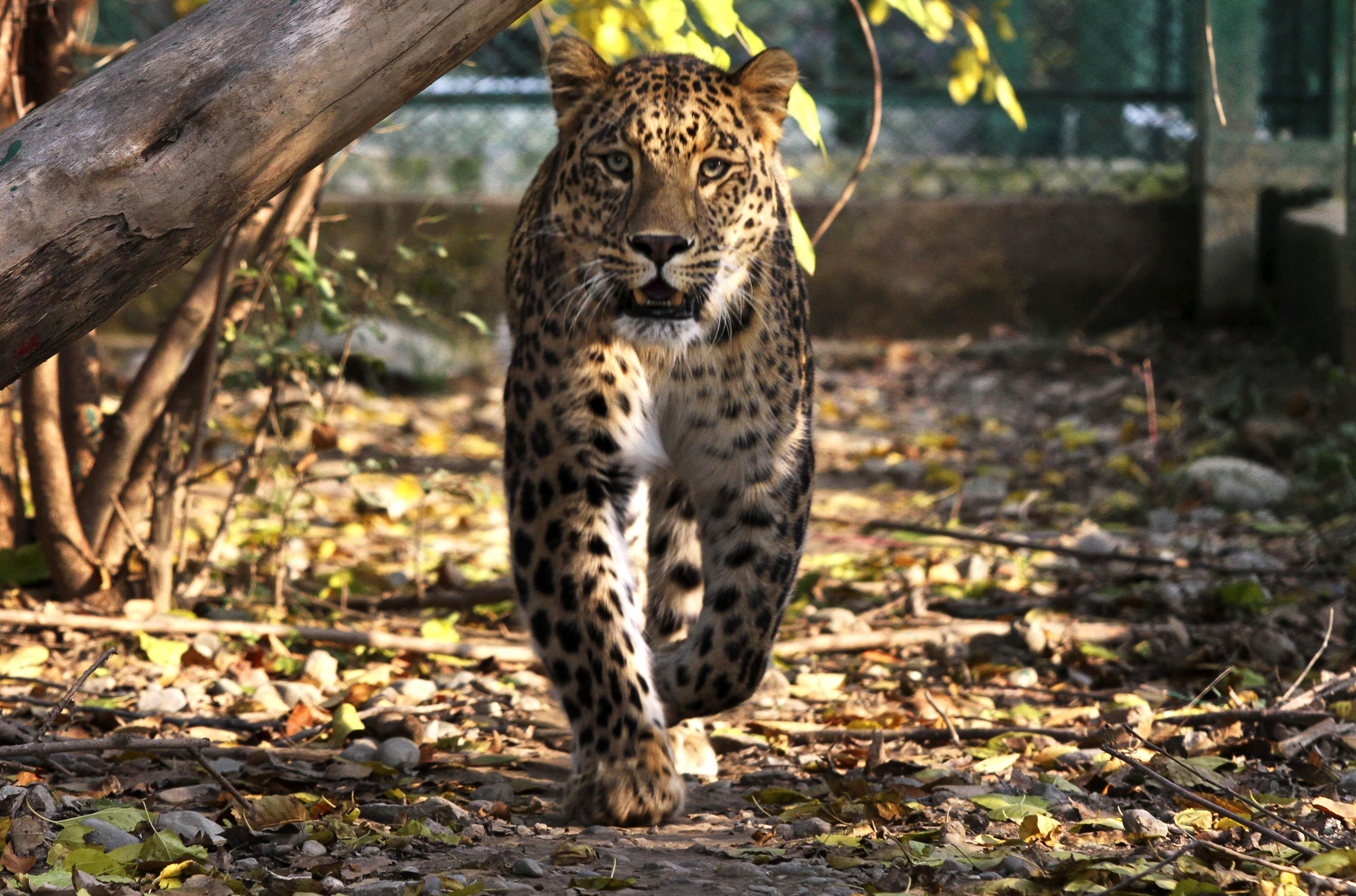 India-Leopard-Wildlife