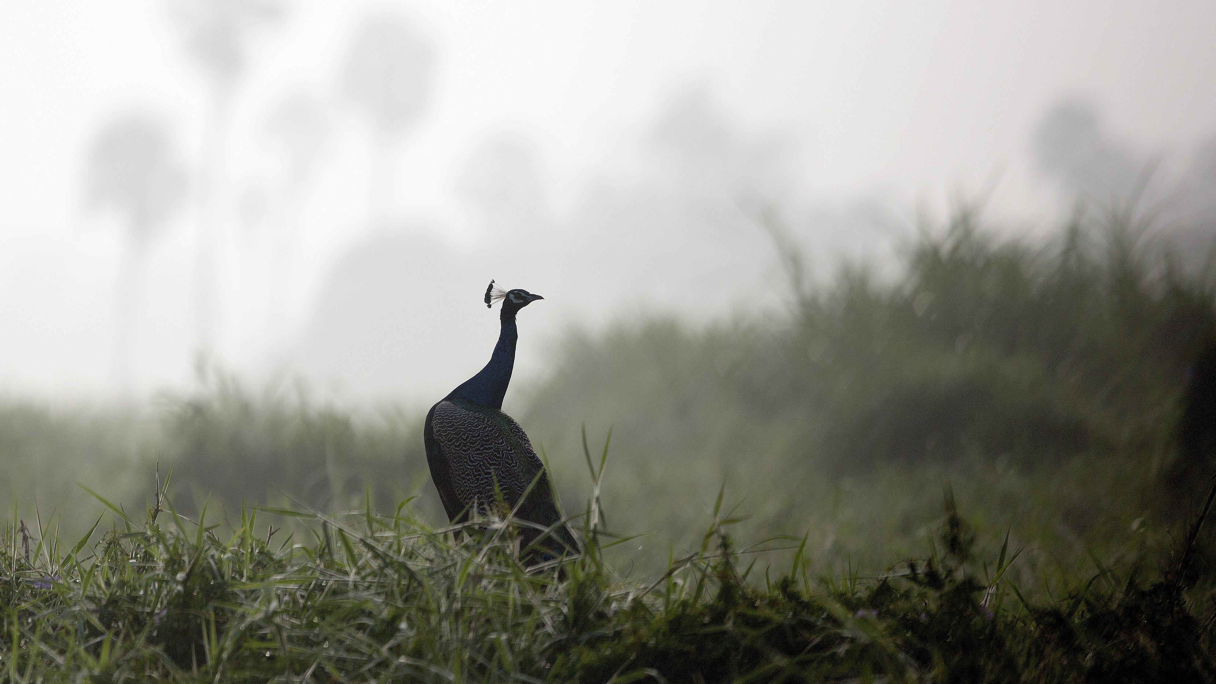 Kerala-Peacocks-Climate Change