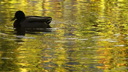 A duck swims past on a lake in Dortmund