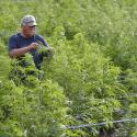 A Michigan hemp farmer checks his crop.