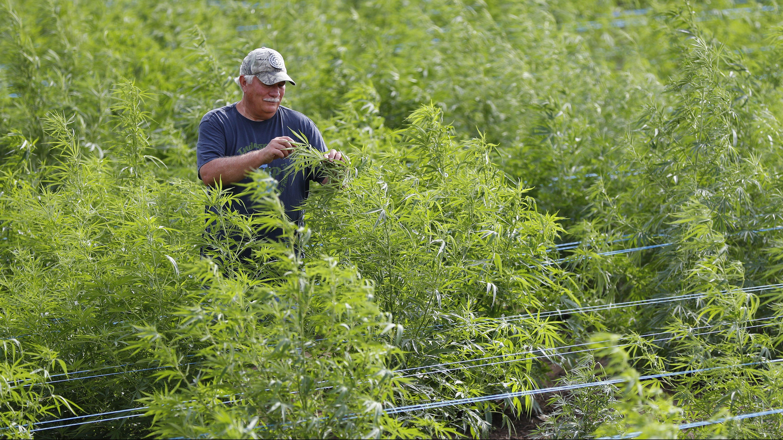 A Michigan hemp farmer checks his crop.