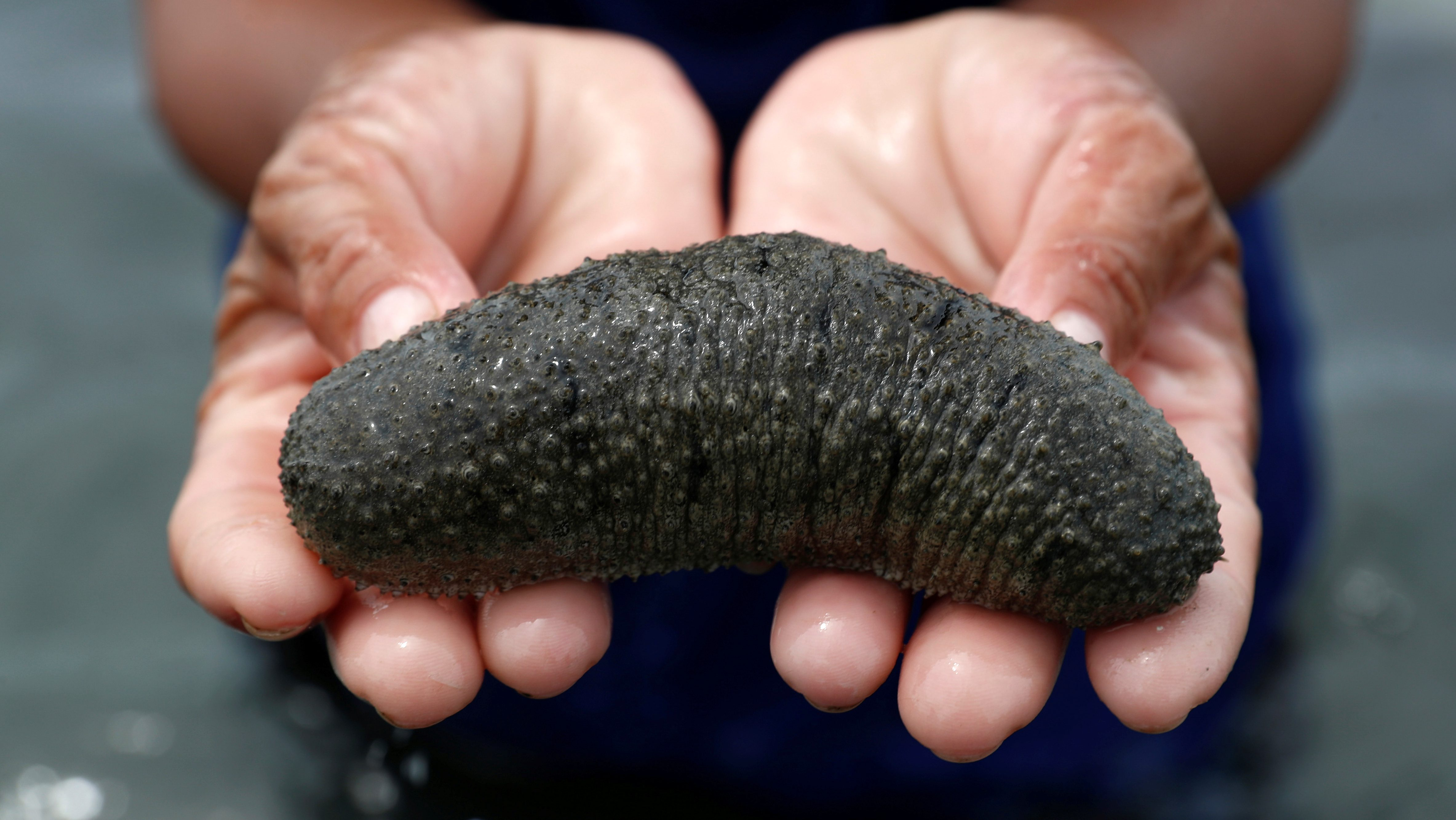 A border arrest exposes a dangerous and lucrative black market for sea cucumbers