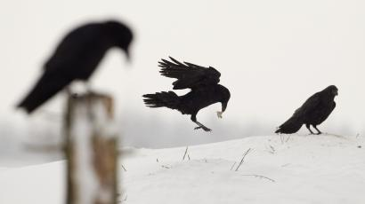 Ravens are seen in a field after a heavy snowfall near the village of Petravinka
