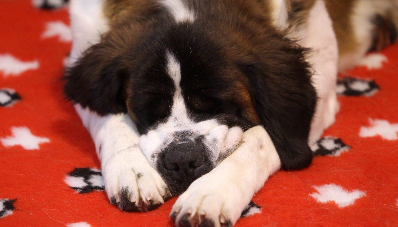Saint Bernard napping on rug