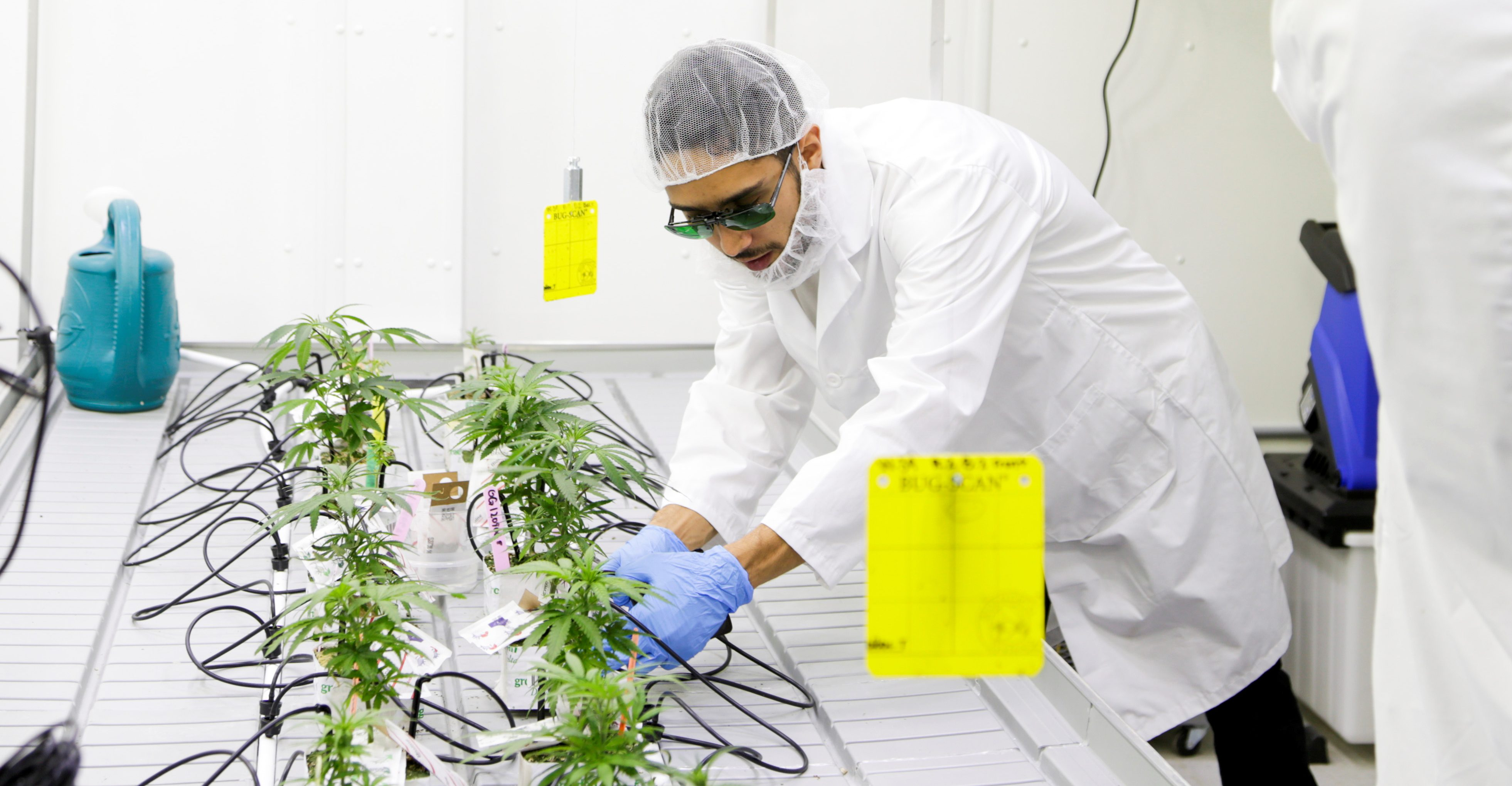 A student in a cannabis lab in Canada looks at a plant