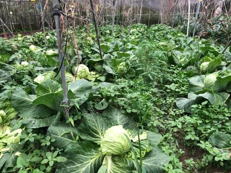 A field of lettuce at Mapopo Community Farm in Hong Kong.
