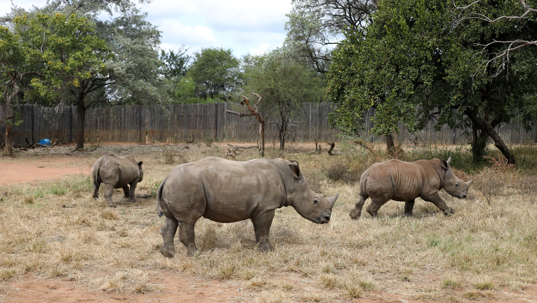 Orphaned rhinos