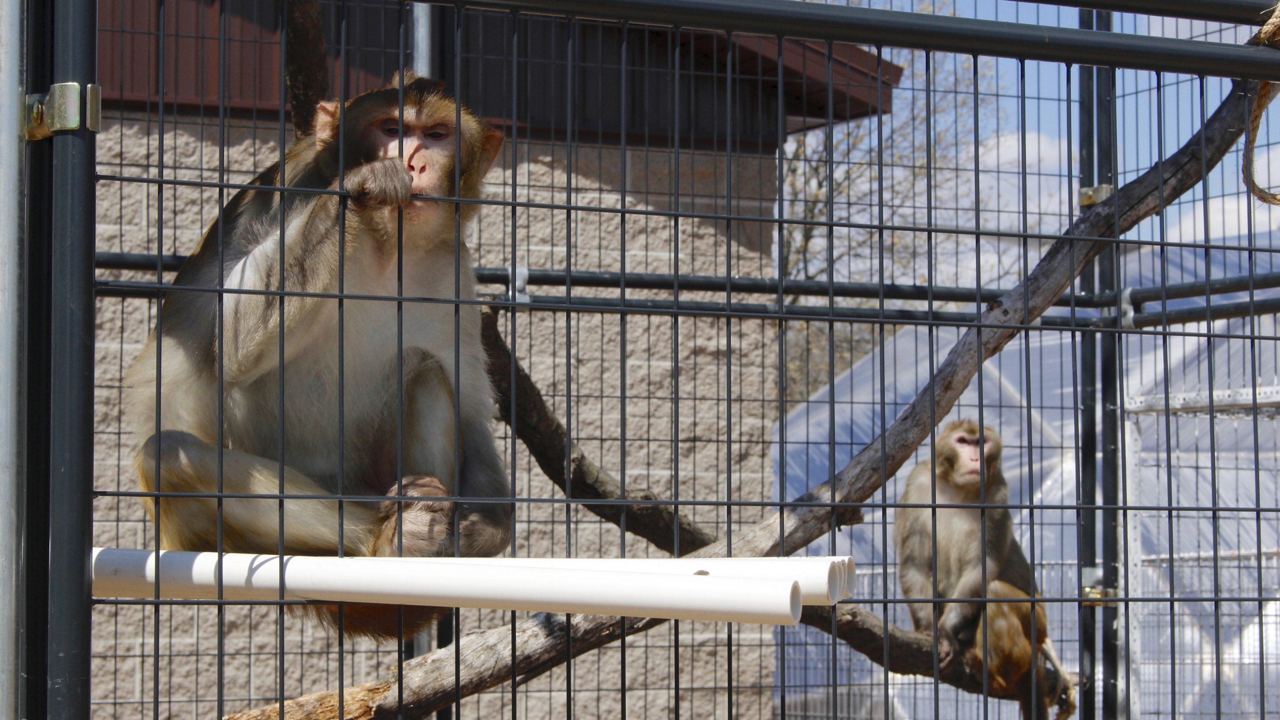 Lab monkeys in Wisconsin