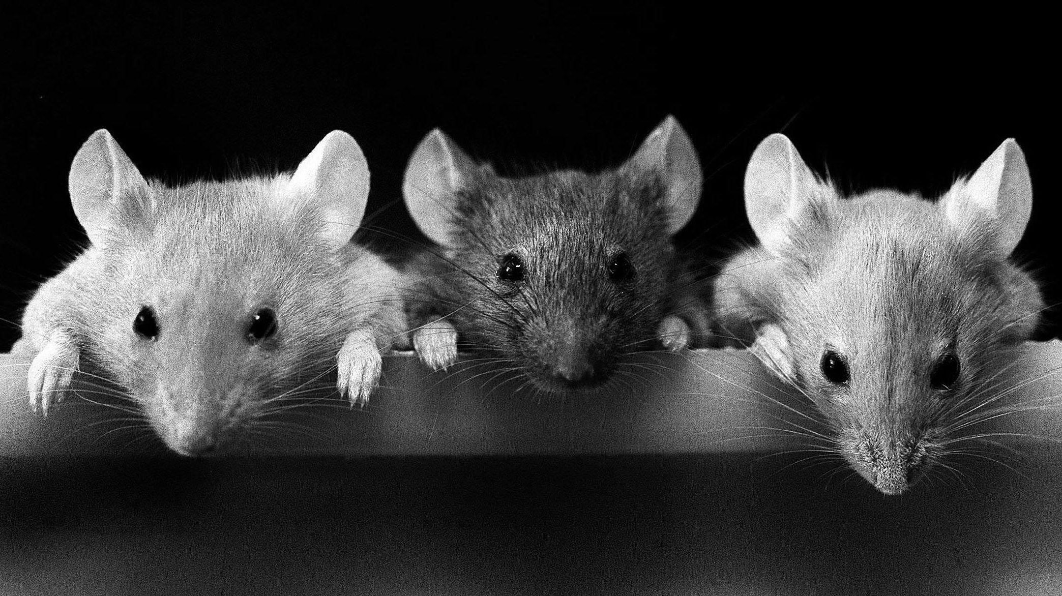 A light mouse, a black mouse, and another light mouse all looking over the edge of a ledge.