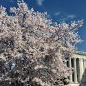 The US Supreme Court behind a cherry blossom tree in spring 2020.