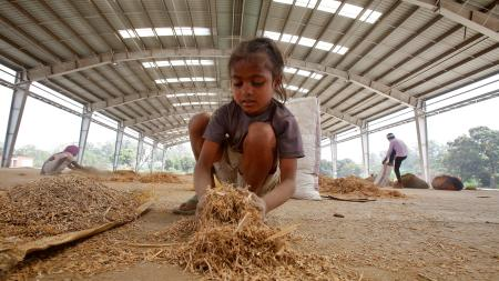 A migrant child collects leftover paddy.