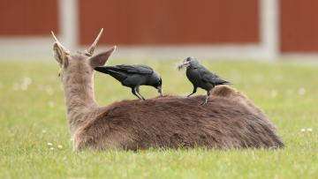 Two crows are sitting on the back of a deer, laying down in grass.