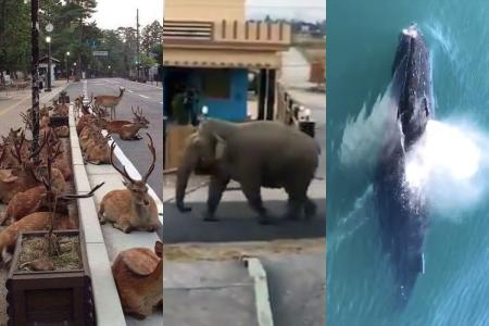 Screengrabs of videos from other countries or from another period in India were circulated as wildlife sightings during the Covid-19 lockdown.