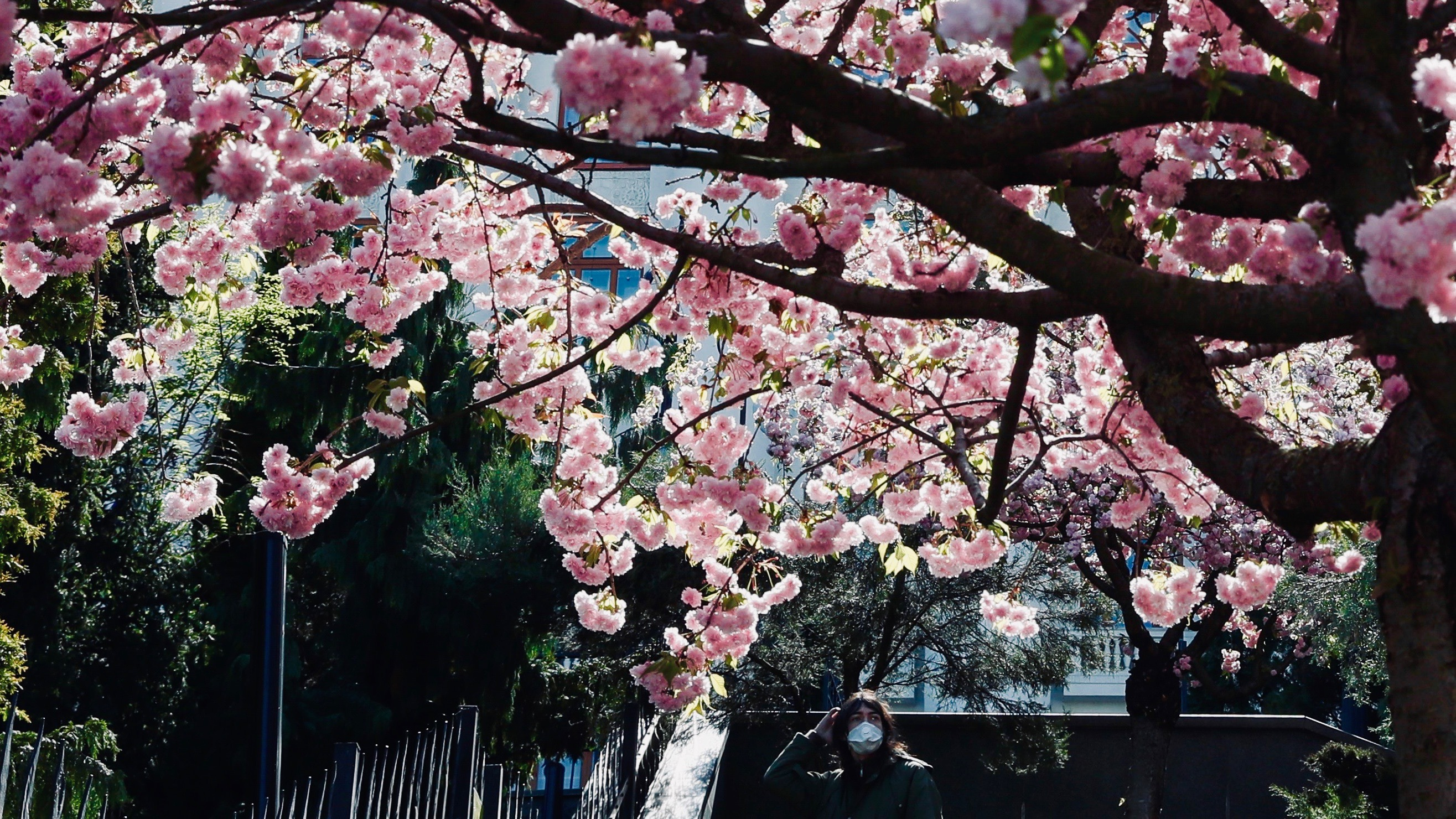 A masked person looks at camera under cherry blossoms.