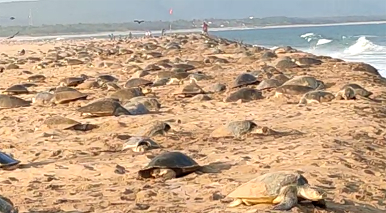 Olive ridley turtles mass nesting in Odisha was falsely attributed to the lockdown by some websites and social media users.