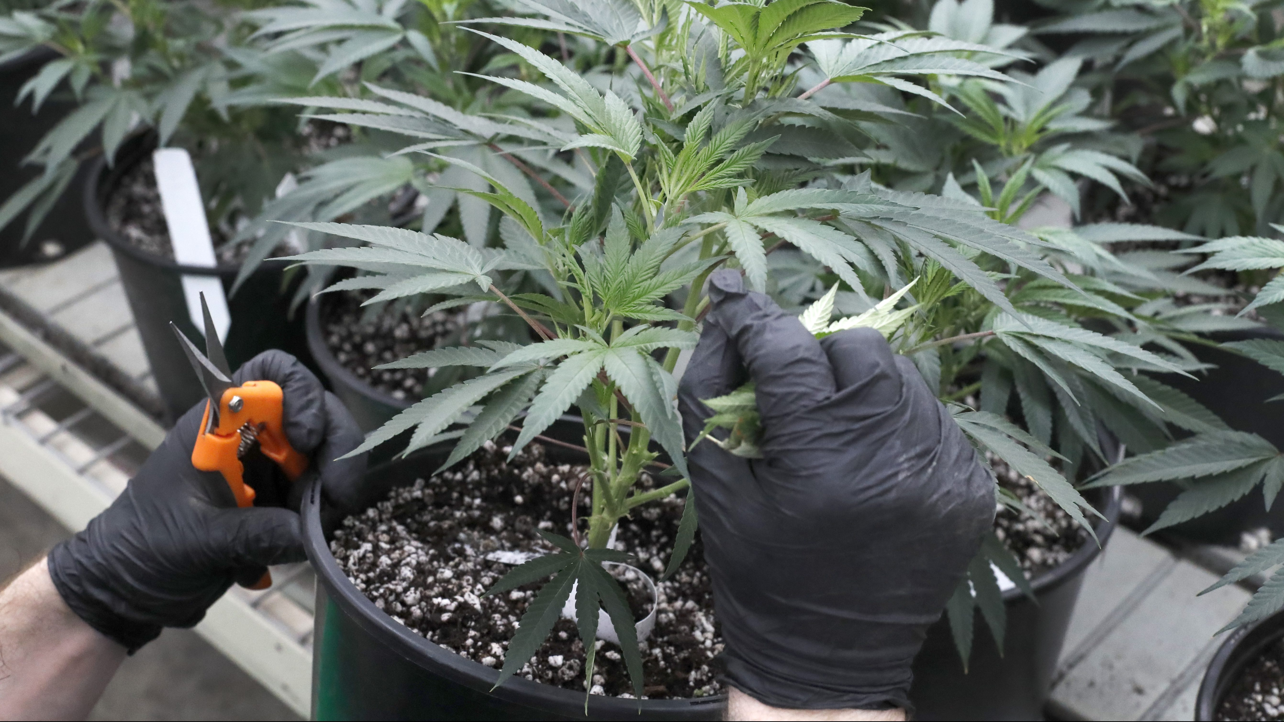 A gardener tends a cannabis plant