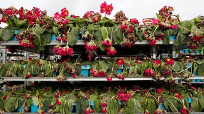 Three shelves full of dying, wilted red flowers after no one has purchased them at a shop. Used as a metaphor.