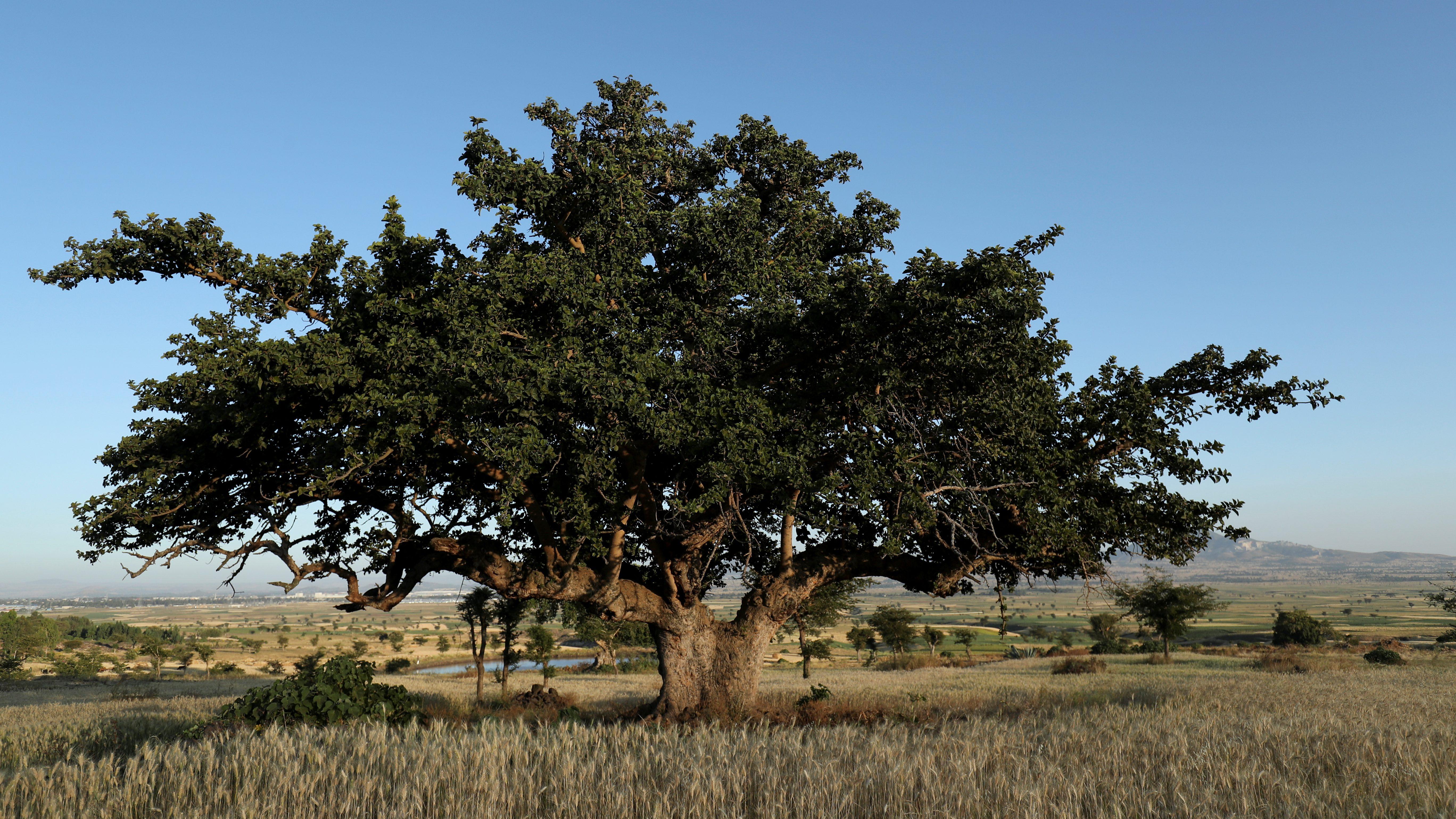 An Odaa tree in the town of Dukem, Oromia region, Ethiopia