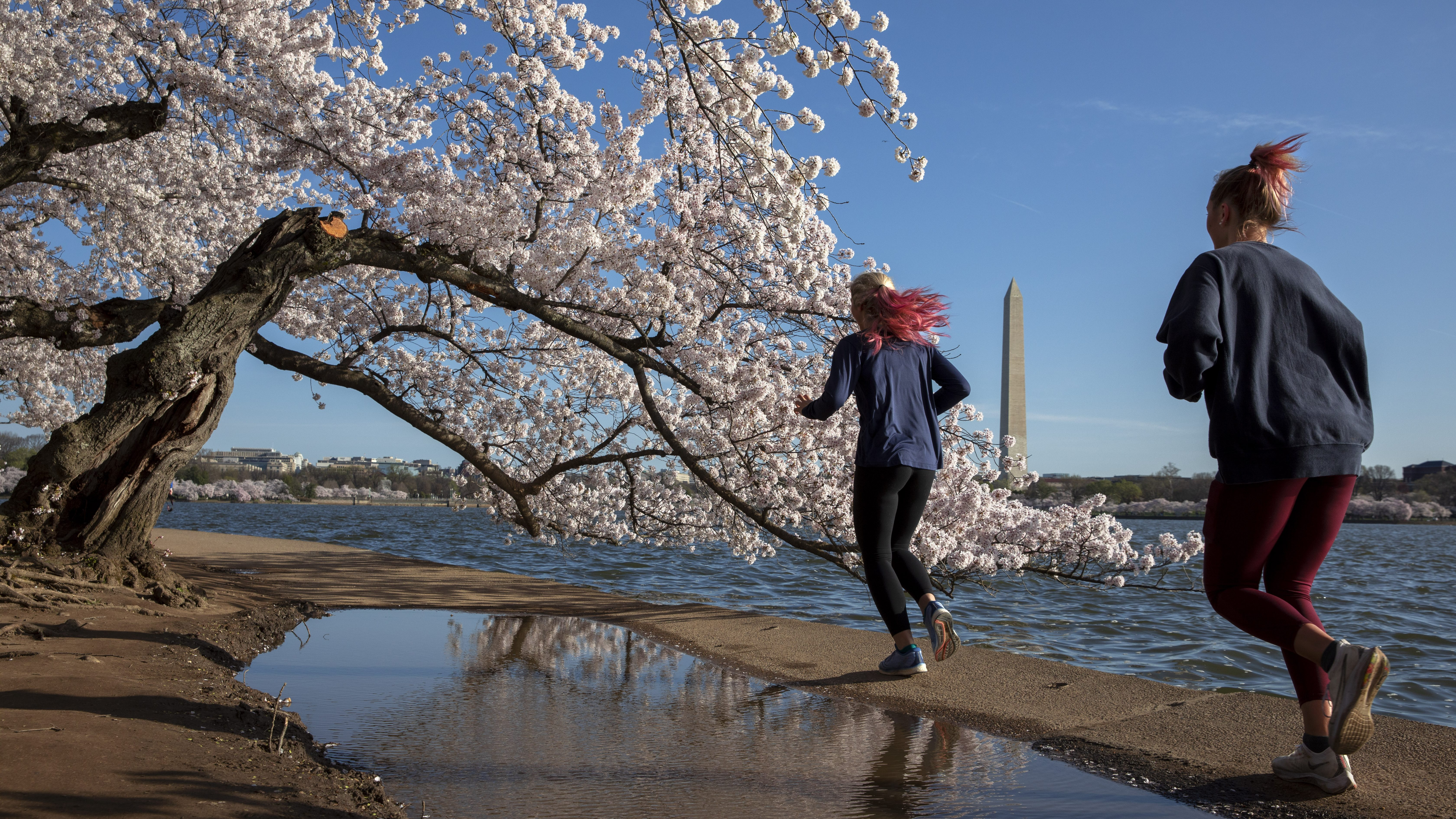 Joggers running past a cherry blossom tree in Washington D.C. during the pandemic