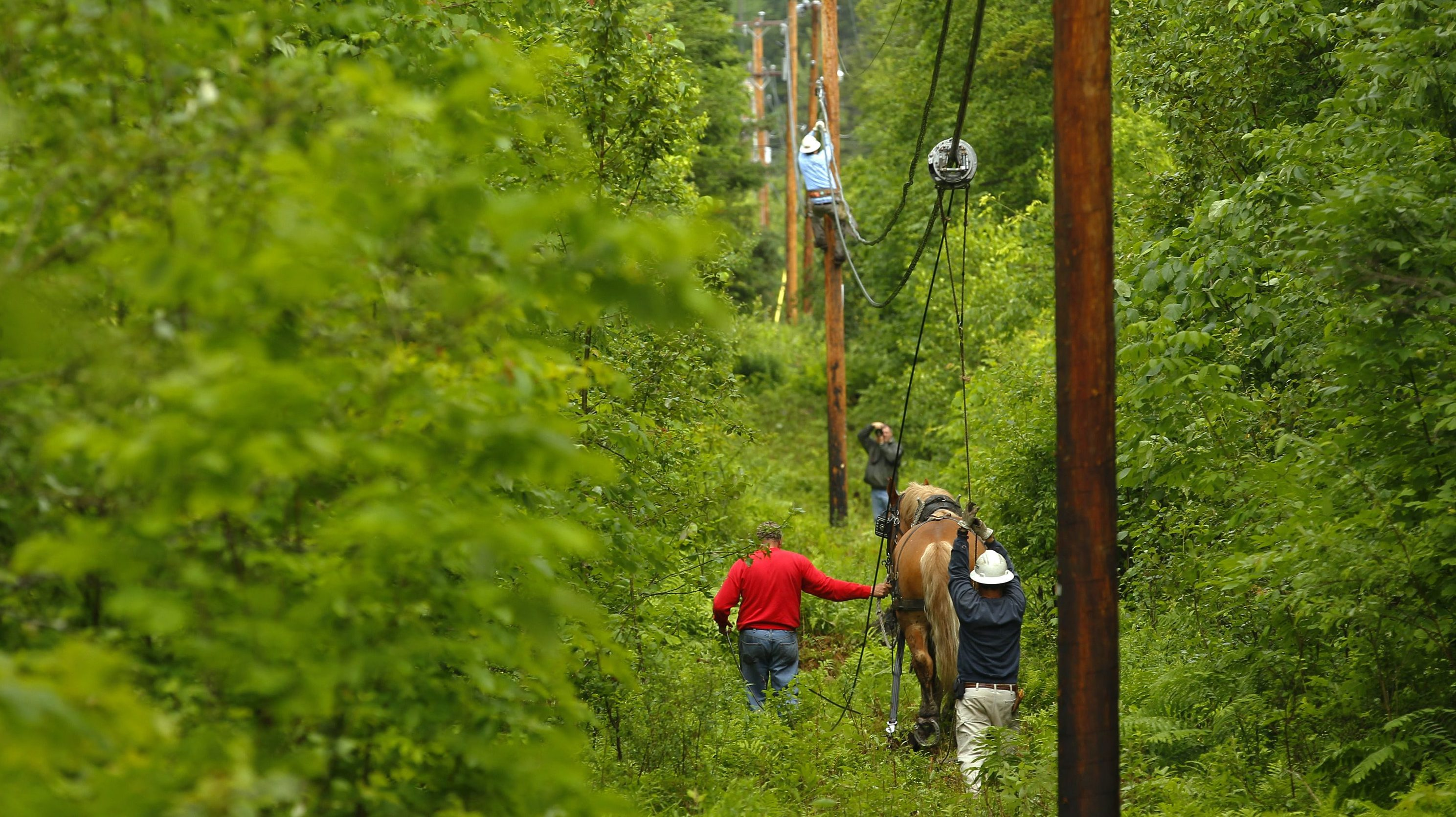 A man and his Belgian draft horse Fred pull fiber optic cables between utility poles in a wooded area of East Burke, Vermont.