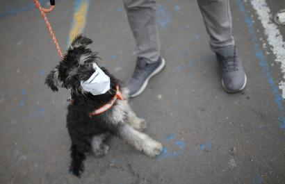 A dog is seen wearing a face mask during the mandatory isolation decreed by the Colombian government as a preventive measure against the spread of the coronavirus disease (COVID-19) in Soacha