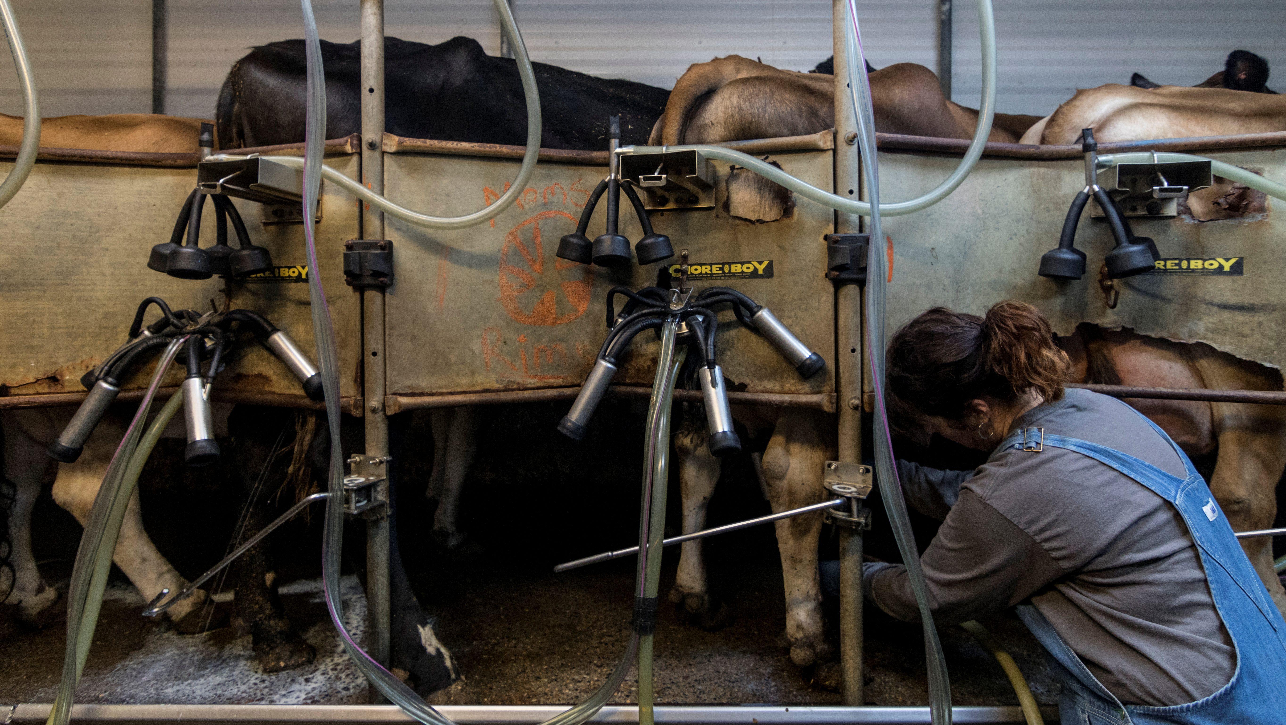 a dairy farmer milks cows