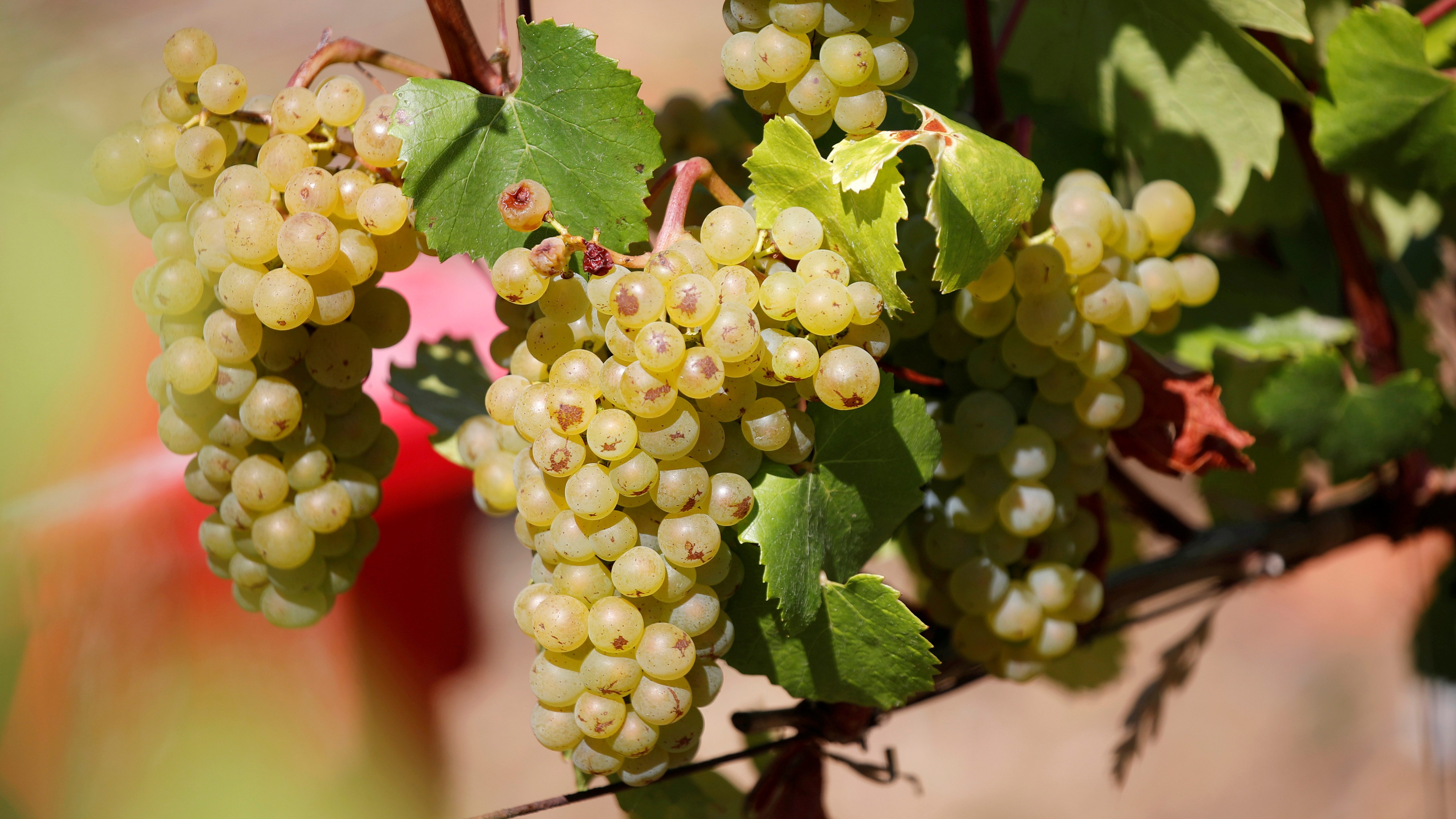Grapes are pictured at the Brun de Neuville vineyard