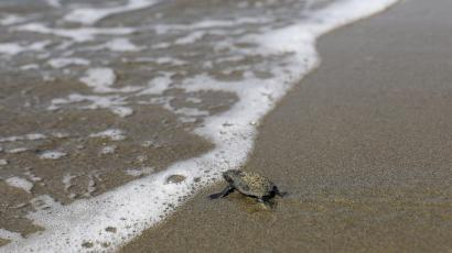 A newly hatched baby sea turtle makes its way into the Mediterranean Sea for the first time.