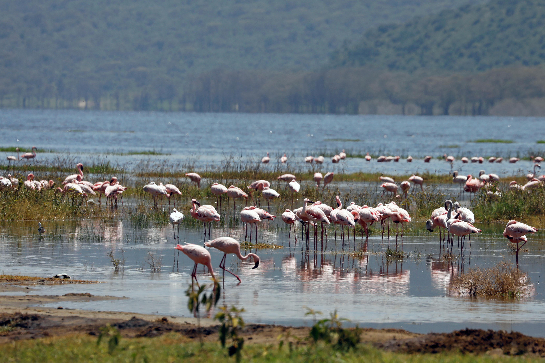 Flamingos crowd together in Lake Nakuru, Kenya, Aug. 27, 2020