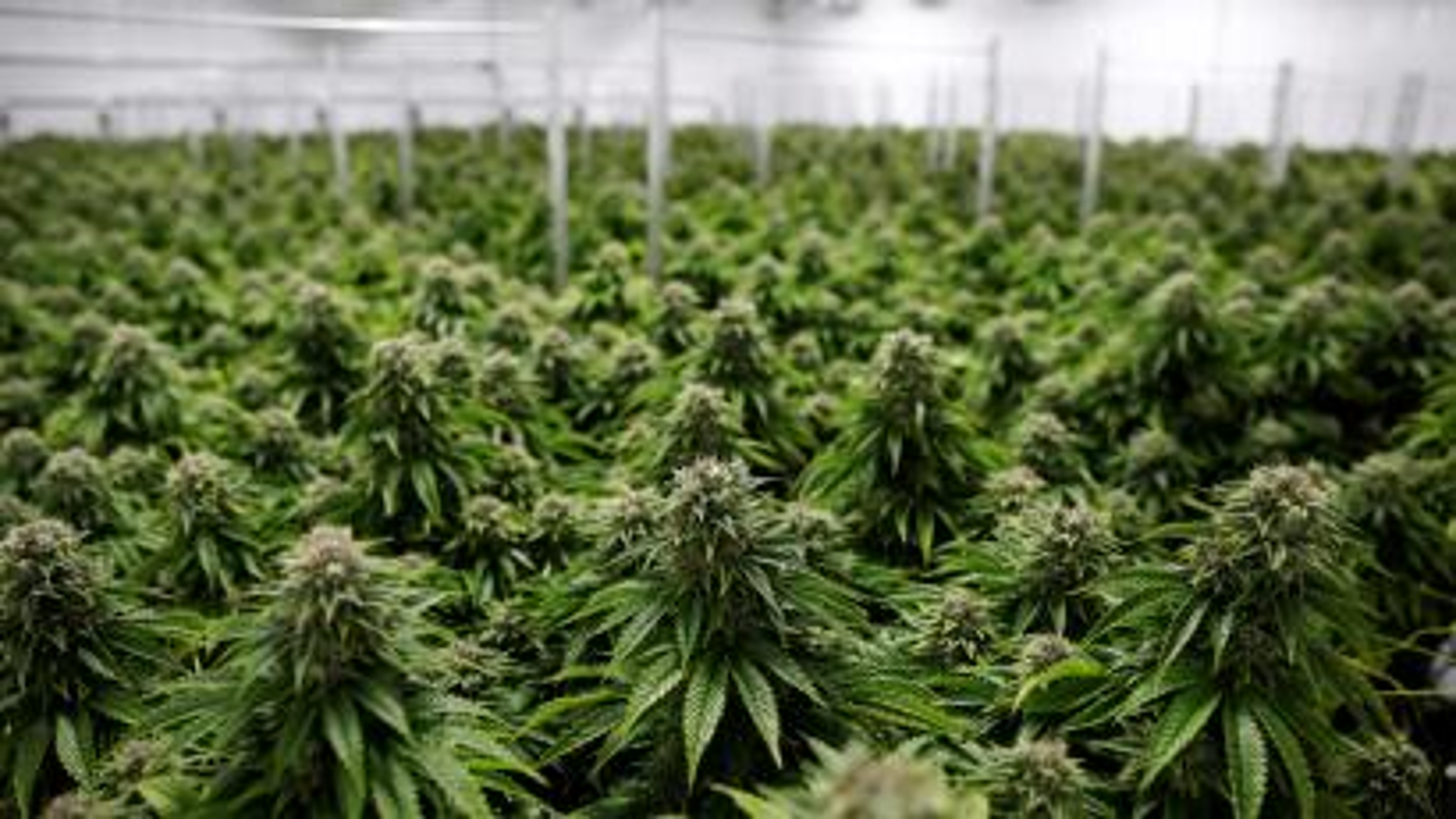 FILE PHOTO: Chemdawg marijuana plants grow at a facility in Smiths Falls, Ontario, Canada October 29, 2019. REUTERS/Blair Gable/File Photo