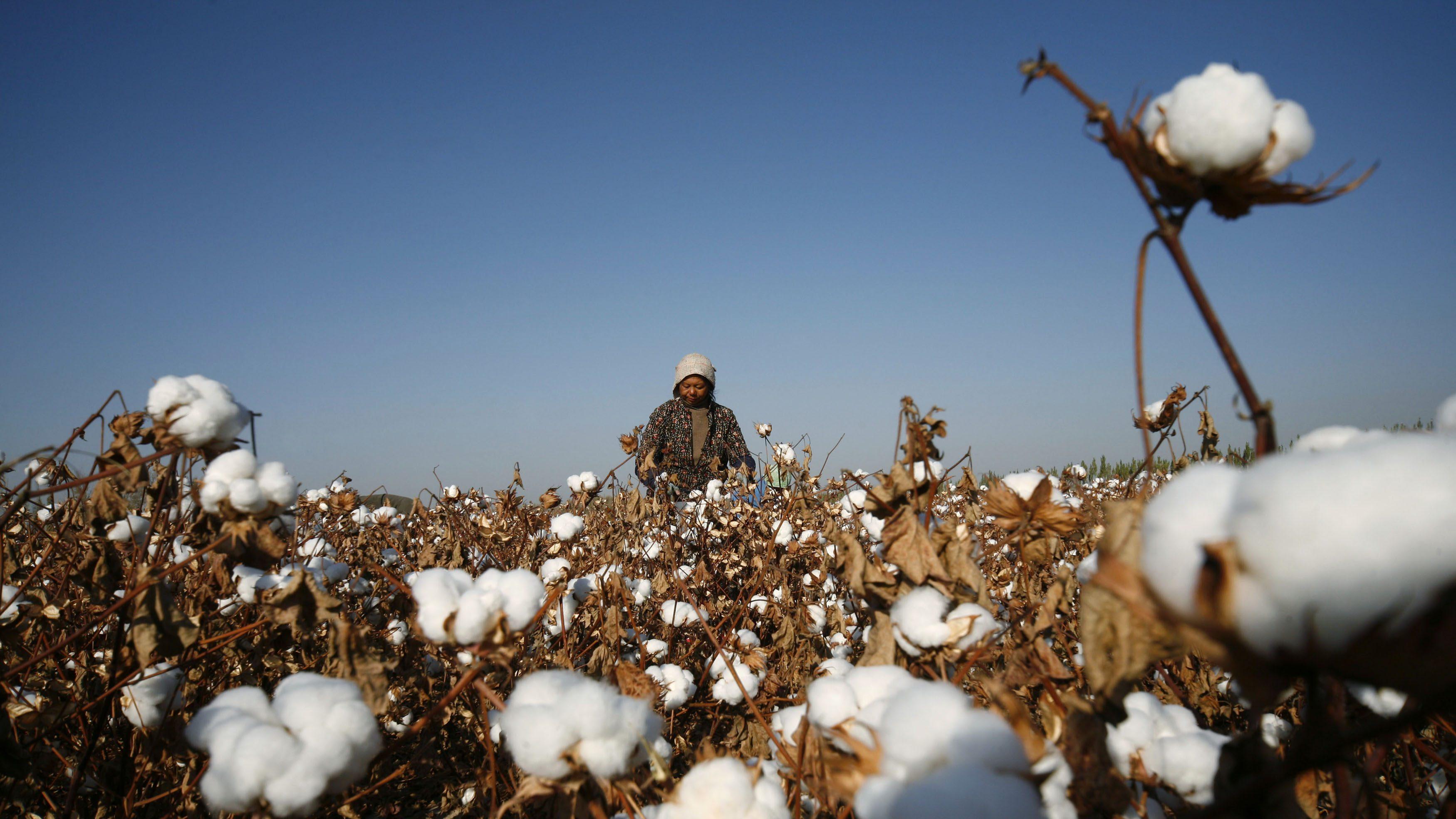 A farmer picks cotton on a farm on the outskirts of Hami, Xinjiang