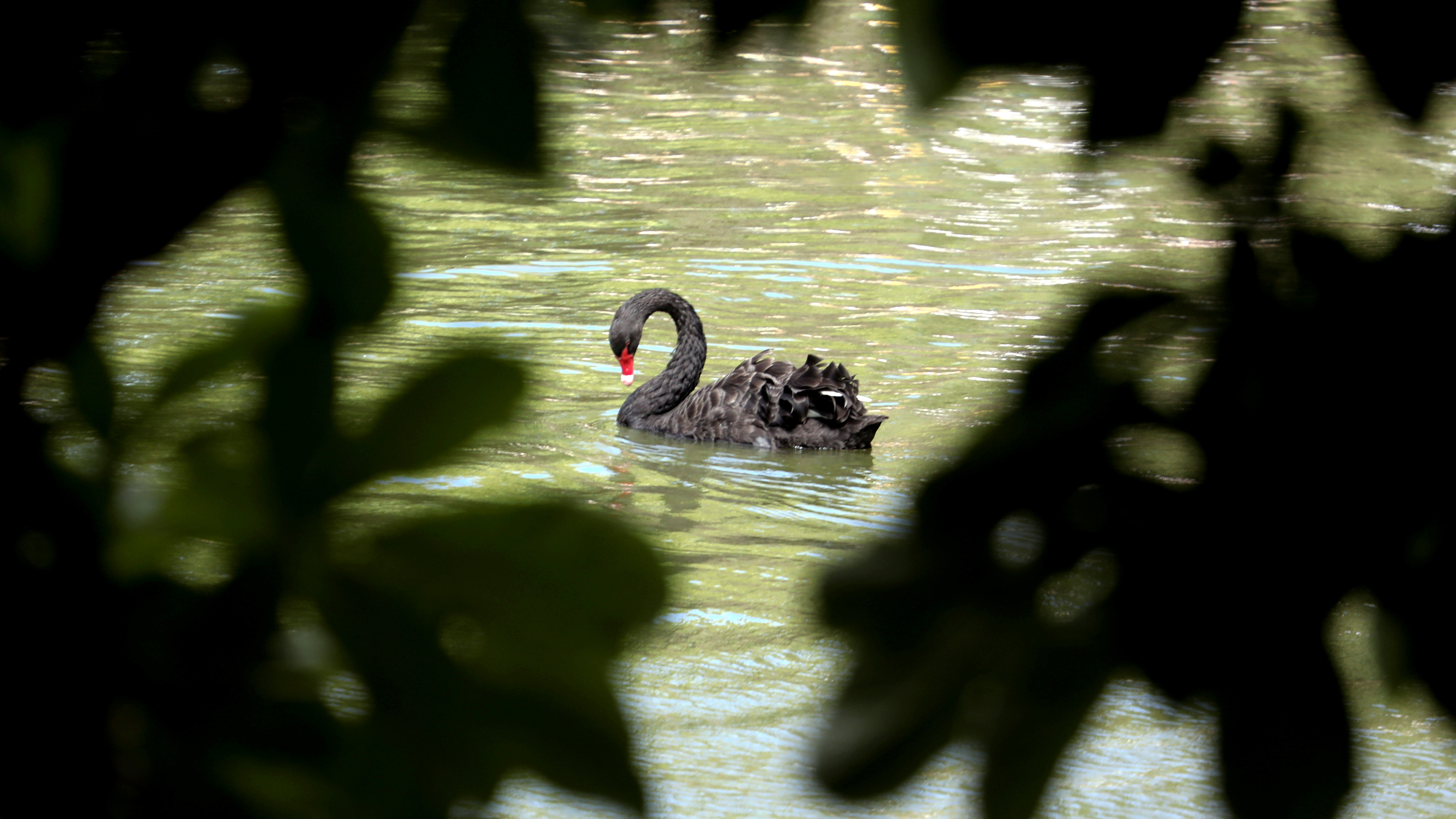 A black swan swims in a lake inside the Retiro Park in Madrid