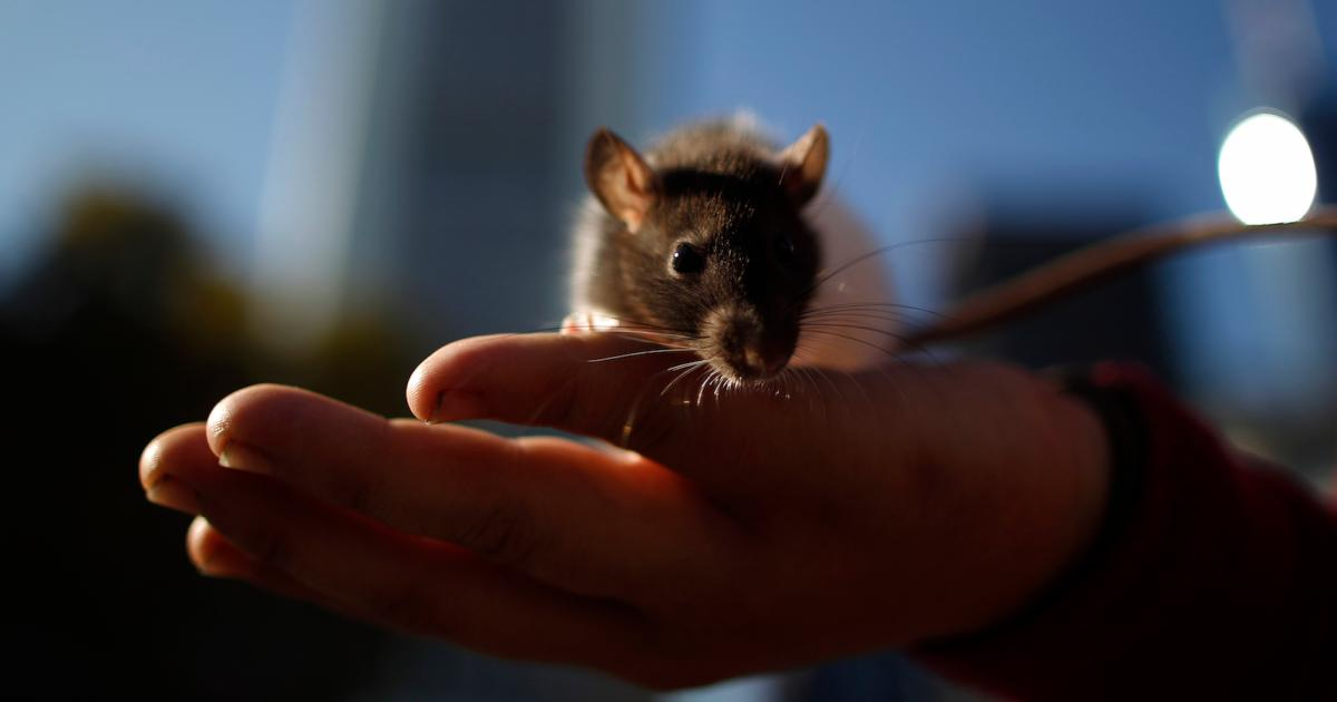 How anxious rats can tap into their inner chill rats: A lab lesson for professionals