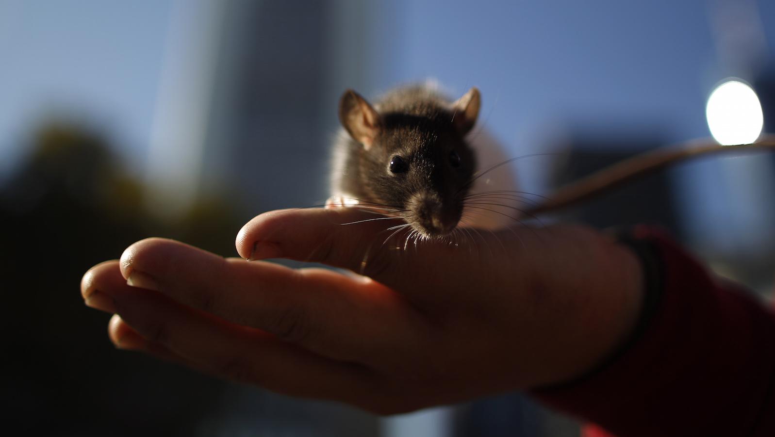 A pet rat sits on an open hand