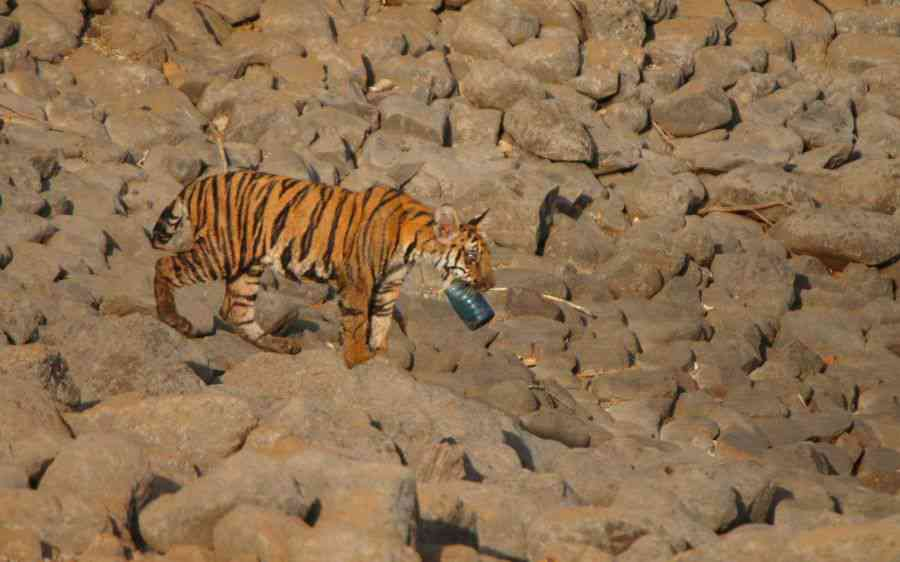 Trashing Tigers: In Maharashtra's Tipeshwar Wildlife Sanctuary, a tiger cub picks up a carelessly thrown plastic bottle. Unregulated and uninformed tourism has placed an enormous strain on natural resources. Tourists visiting India's national parks and sanctuaries don't realise that they can lighten their footprint just by refusing packaged snacks and beverages, and booking their stay in legitimately eco-conscious homestays and resorts.