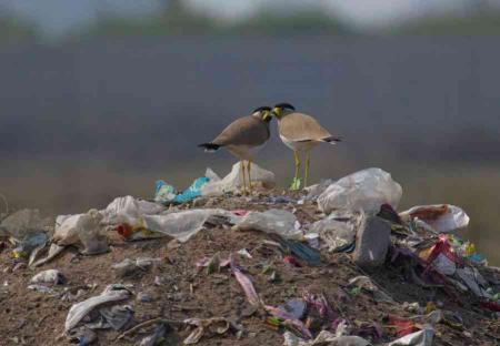Pecking Order: In the rushed and dusty city of Gurugram, two forlorn yellow-wattled lapwings forage in a pile of rubbish. These birds are ground-nesters and it is difficult to imagine the life they have been forced into by human overconsumption and neglect.