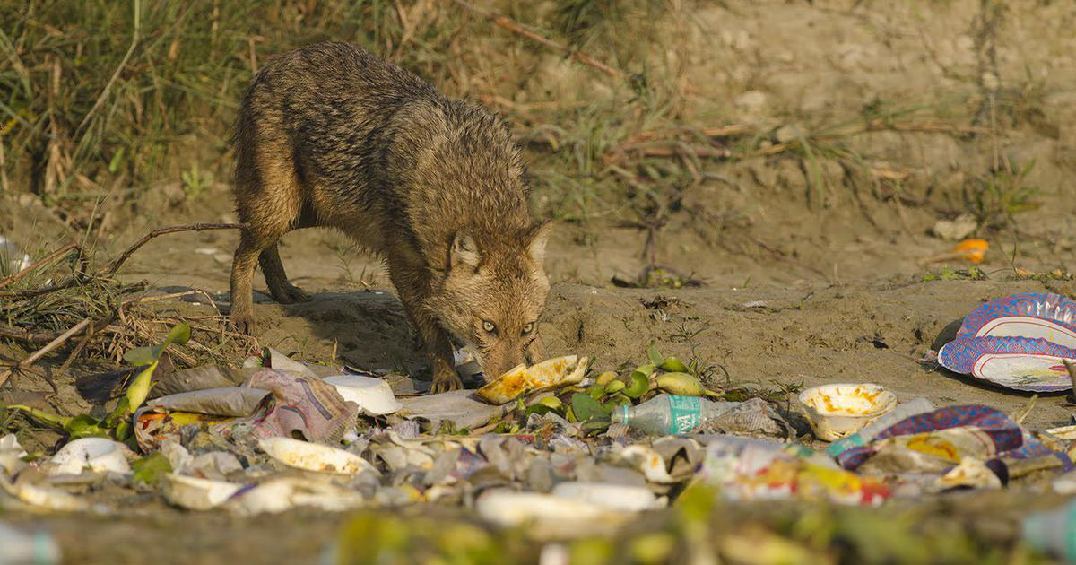 On a small island on River Ganga in the Malda district of West Bengal, a golden jackal licks the remains off a styrofoam plate casually discarded by picnickers.