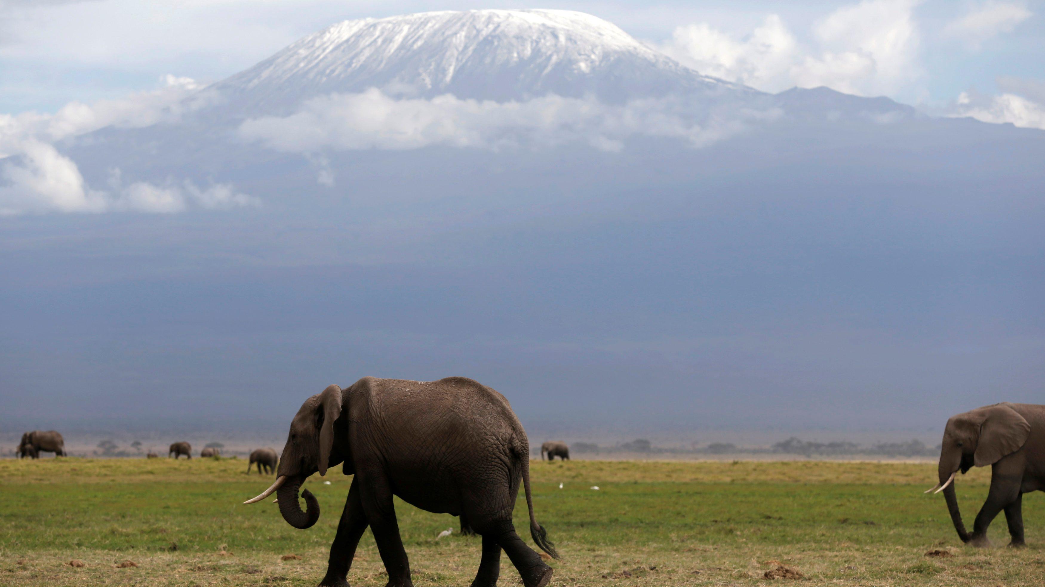 Elephants walk in Amboseli National Park in front of Kilimanjaro mountain