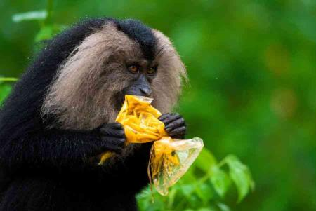 Single-use Sins: In Valparai, Tamil Nadu, a lion-tailed macaque rips into a single-use packet filled with curry. This incredible, distinctive species is endemic to small pockets of the Western Ghats. It dwells in the rainforest and primary eats, or should eat, fruit. But with forests getting degraded and fragmented, and with garbage piling up, it is being forced to change its habits. Researchers say that these macaques are spending more time on the ground and having negative interactions with humans – including raiding homes and foraging for human food.