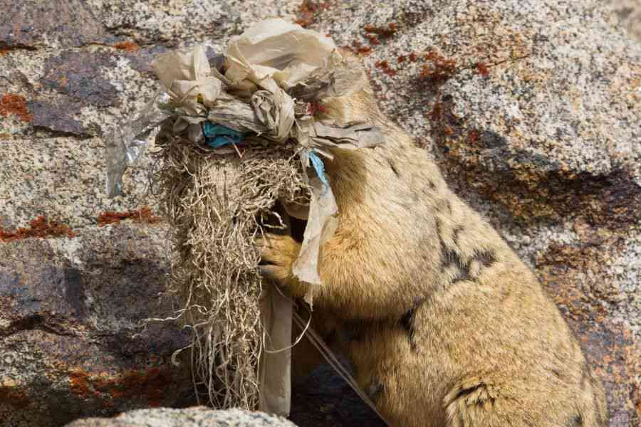 Marmot Task: In remote Ladakh, the face of a Himalayan marmot is obscured as it gathers nesting material that includes discarded plastic bags. A dream destination for most travel enthusiasts, Ladakh has suffered gravely because of unregulated tourism. Just a kilometre from Leh city lies India's highest landfill, where an estimated 30,000 plastic bottles get dumped in summer months alone.