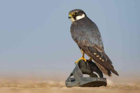 Falcon Footwear: In the vast expanse of the Little Rann of Kutch, a Eurasian Hobby perches upon a lone slipper. While the Little Rann still teems with wildlife, it is increasingly threatened by unnatural changes in upstream hydrology, pressure from the salt industry and the effects of tourism.