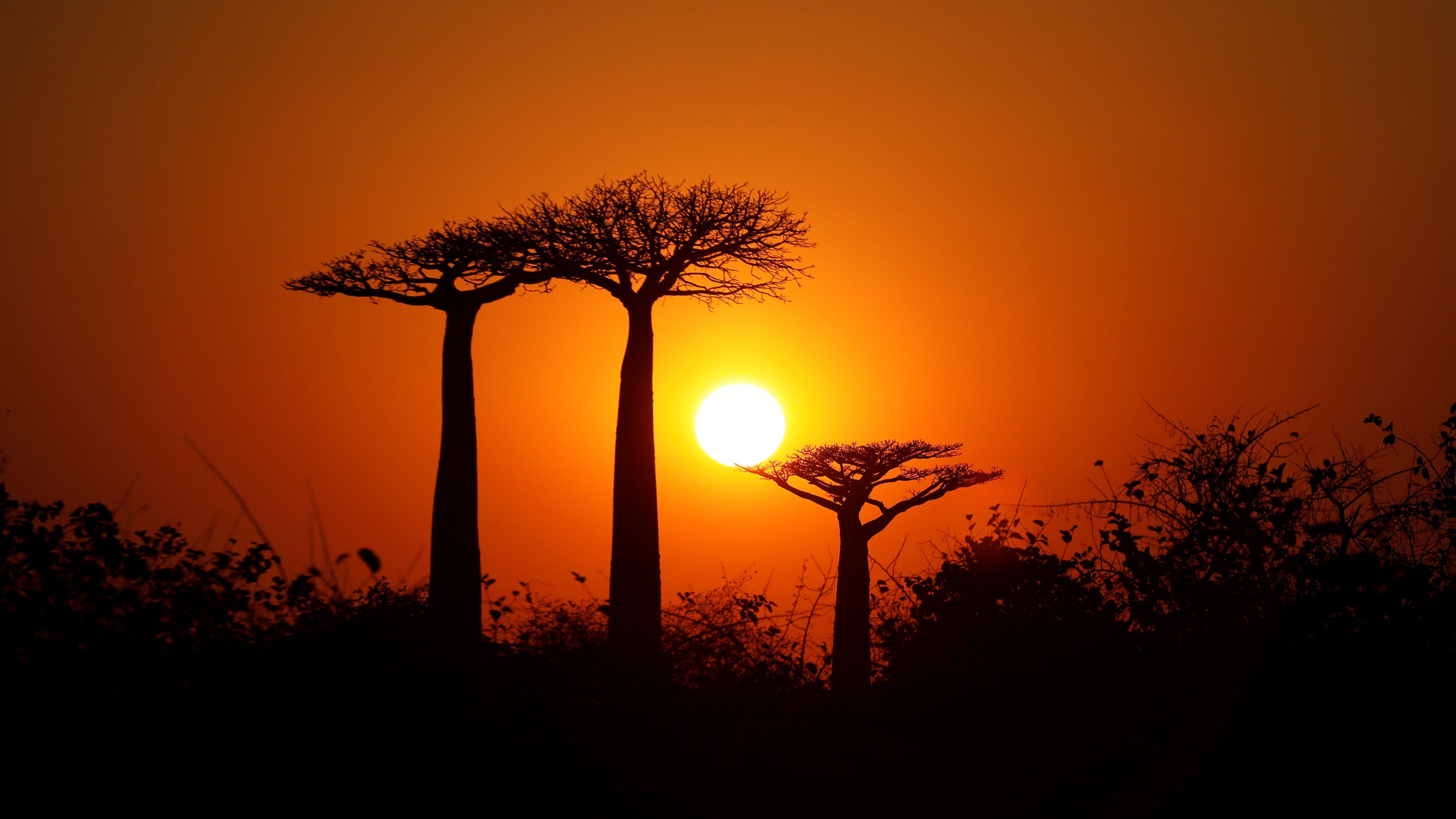 The sun rises behind Baobab trees at Baobab alley near the city of Morondava