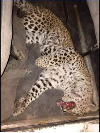 A 10-month-old female leopard killed on Gurgaon-Faridabad highway.