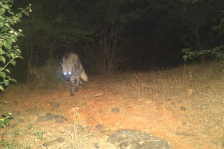 Camera trap image of a striped hyena in the Haryana Aravallis.