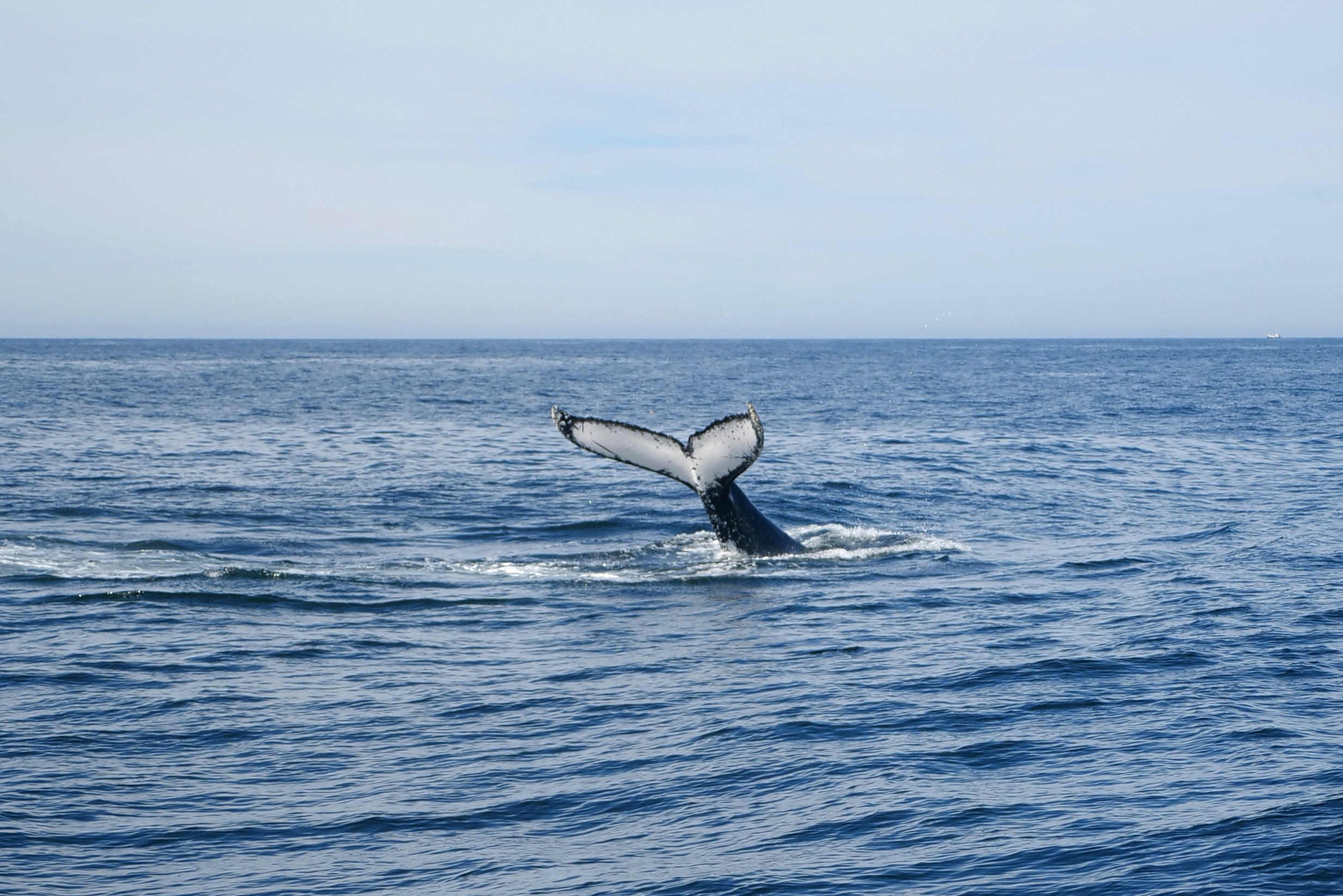 The tail of a whale breaching the sea's surface is seen off the coast of Eden