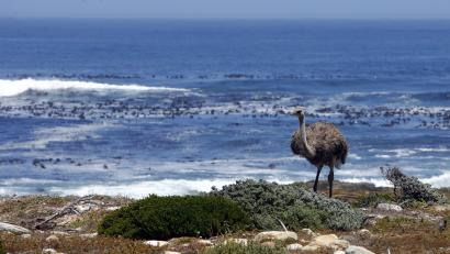 An ostrich walks next to the Atlantic Ocean at South Africa's Cape of Good Hope.. Few people know that the southern Atlantic Ocean was once referred by mapmakers as the Ethiopian ocean.