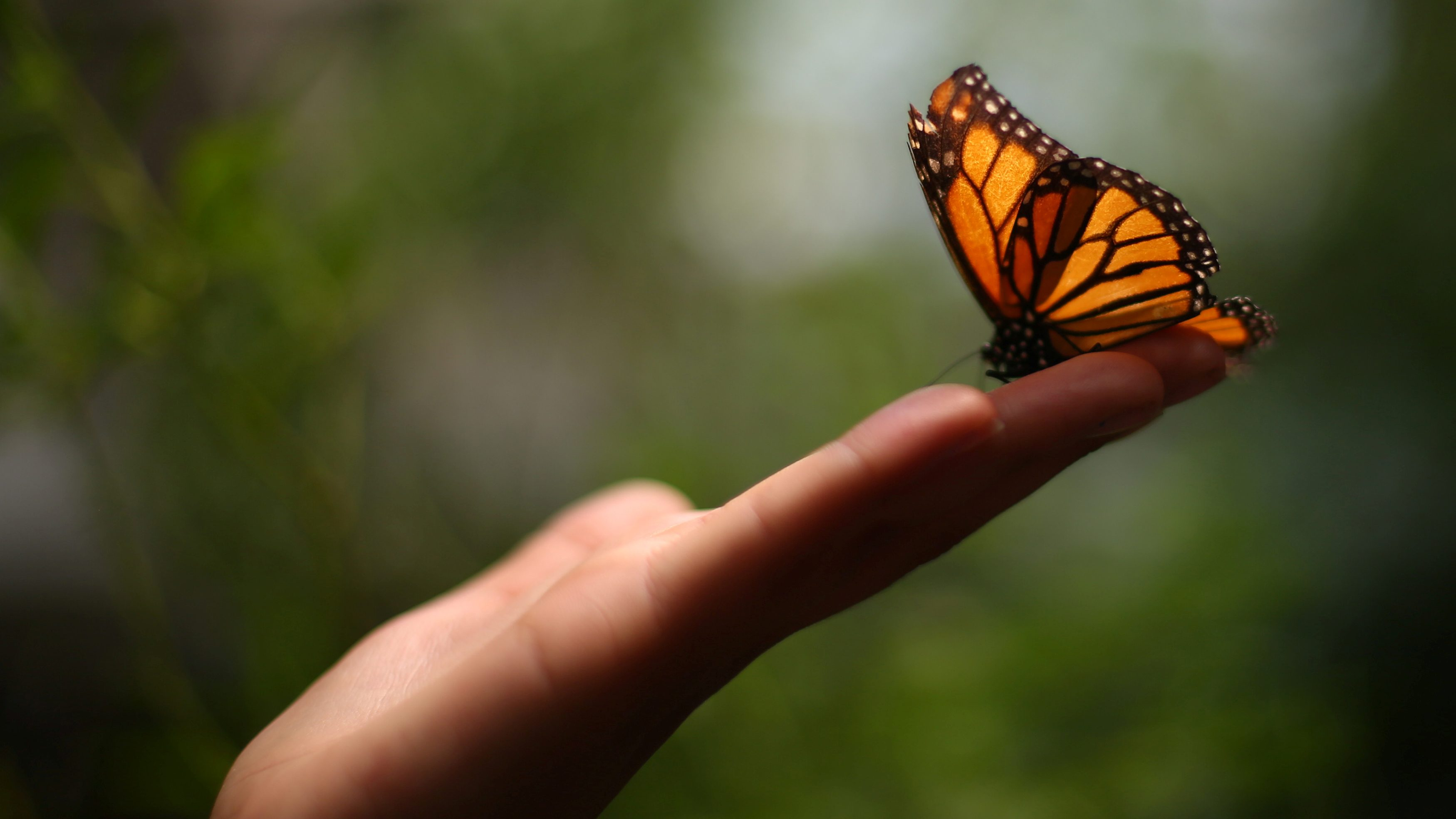 A Monarch butterfly rests on a visitor's hand during the official Inauguration of the month of the Monarch butterfly at Chapultepec Zoo in Mexico City, Mexico, April 6, 2017.