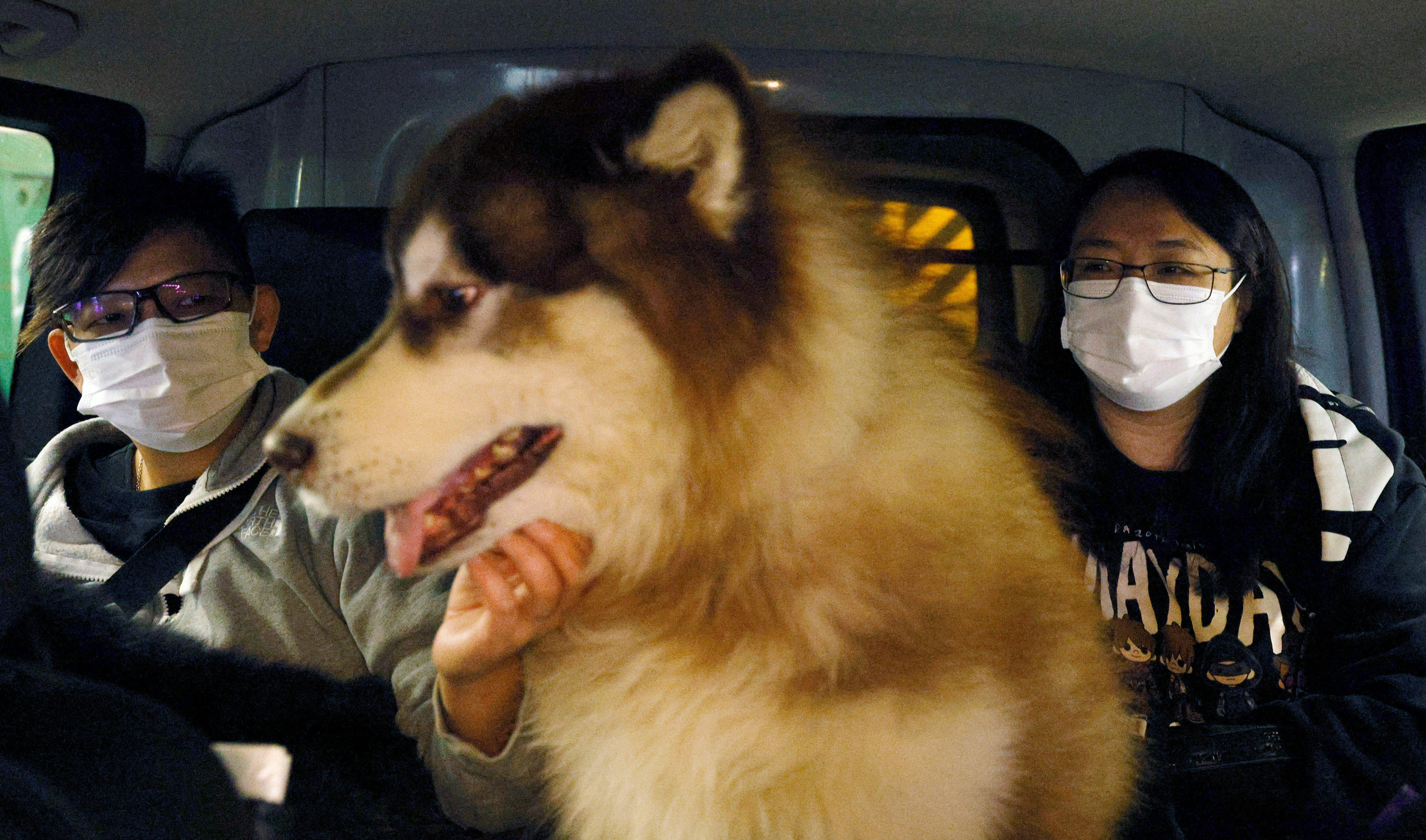 A Siberian husky rides in a car