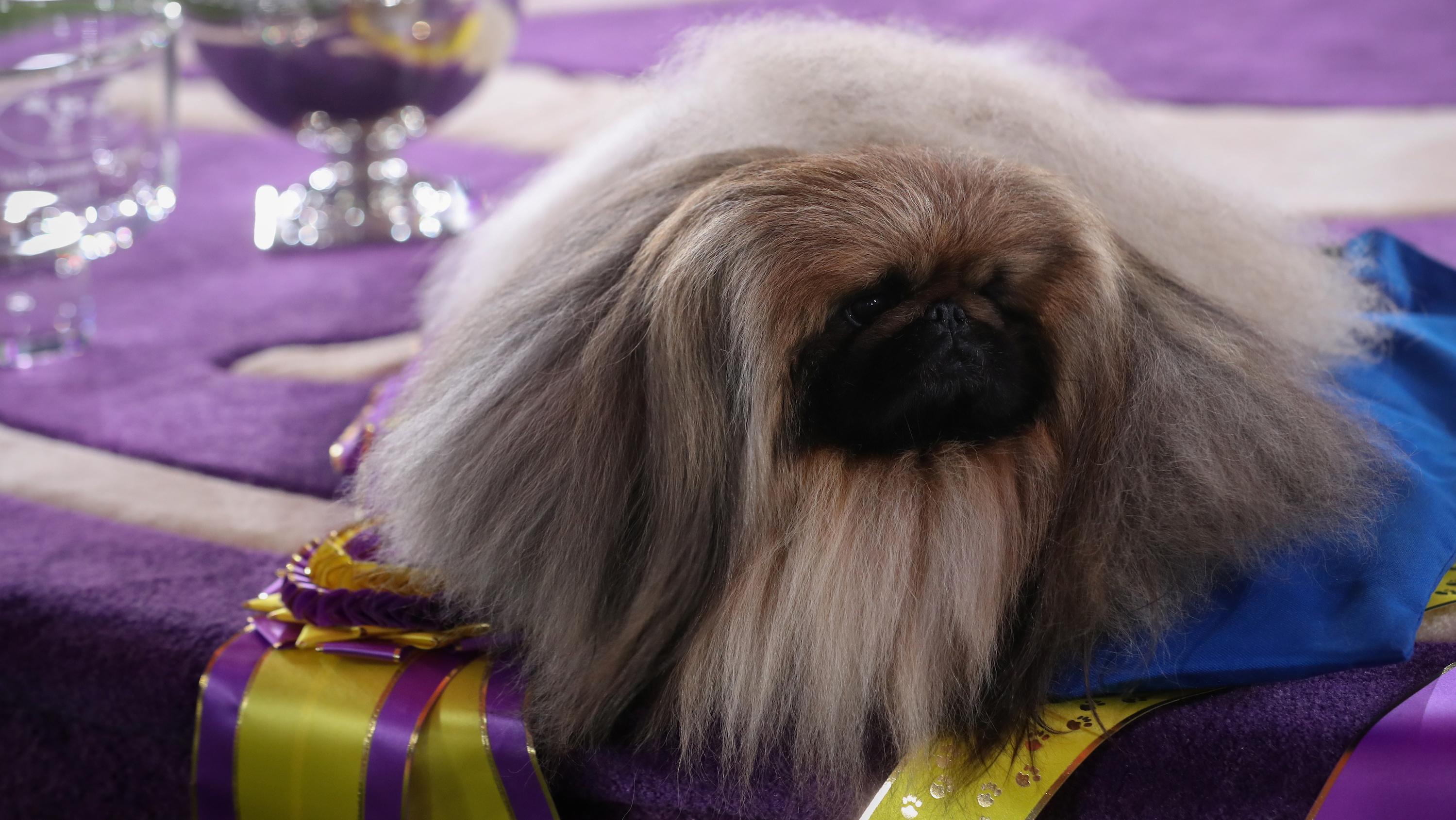 Wasabi, the Pekingese winner of Westminster